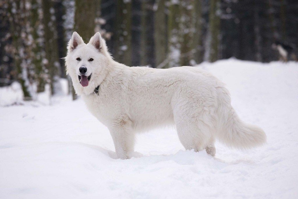 chien loup berger blanc suisse. Black Bedroom Furniture Sets. Home Design Ideas