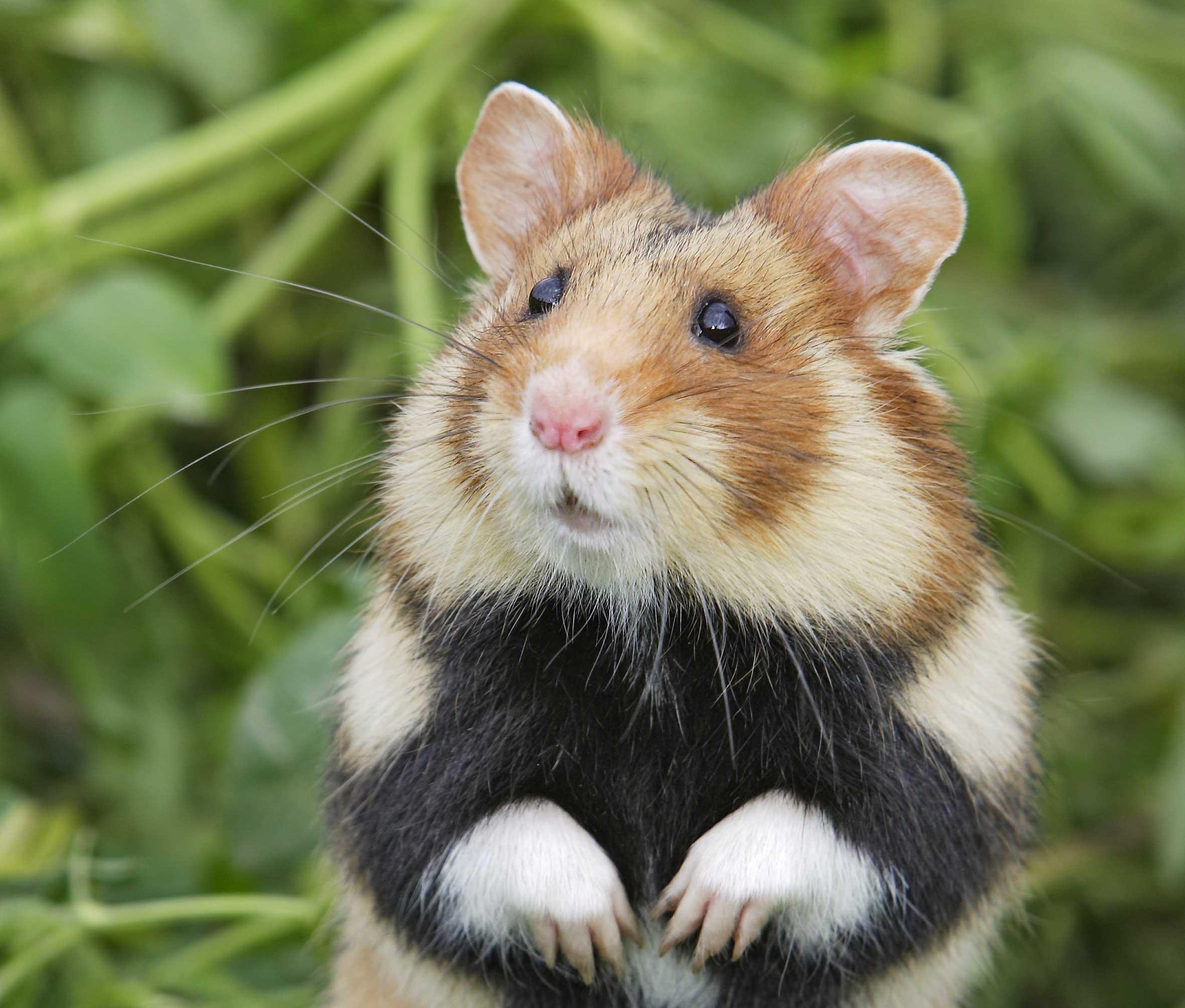 ofitsialniy-sayt-hamster